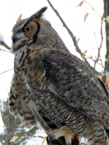 img-owl